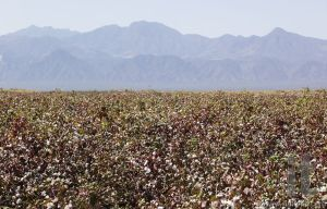 Cotton field near Weita. Omo Valley. Ethiopia.