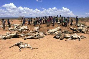 Ethiopia_drought_cows